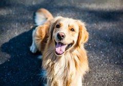"""为什么狗狗的鼻子会""""掉色"""",8个原因告诉你"""