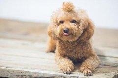 怎么训练泰迪犬大小便?