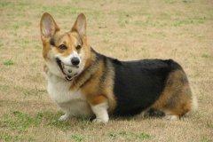 狗狗肥胖怎么办呢?知道这几点很重要!